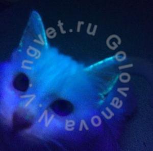 Микроспория у котенка. Исследование ЛЮМ-лампой.