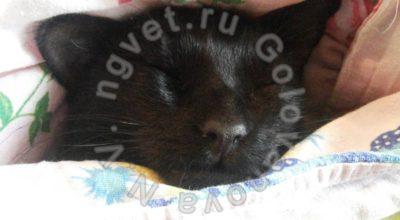 Демодекоз у кошек. Диагностика, признаки, лечение демодекоза у кошек.